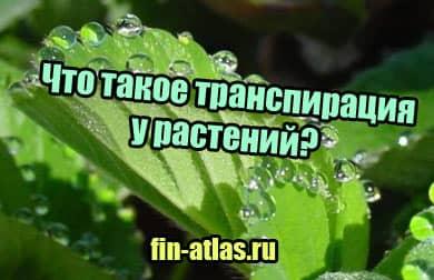 фото Что такое транспирация у растений, определение в биологии